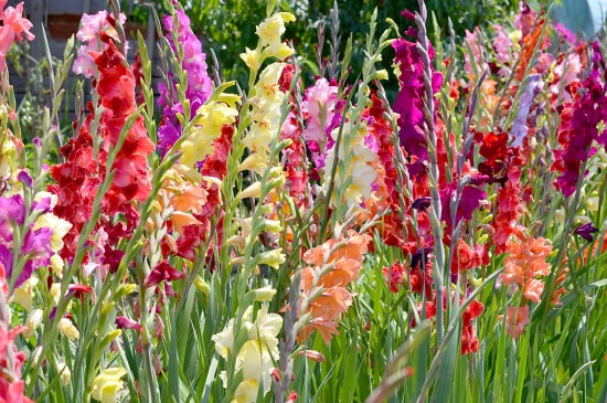 Flori potrivite pentru gradina casei tale pe timp de vara