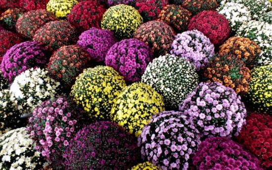 Crizanteme pentru gradina ta